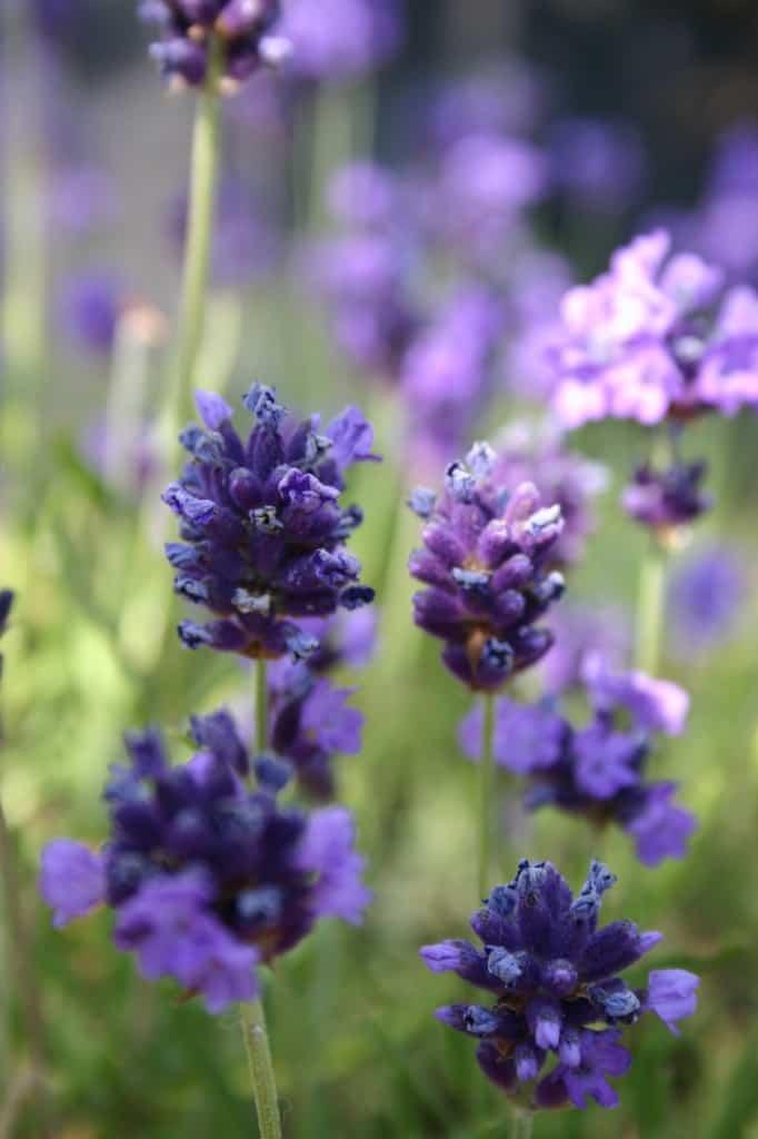 tuin lavendel