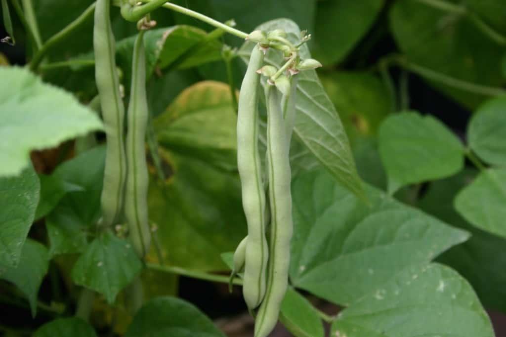 tuin sperziebonen plant