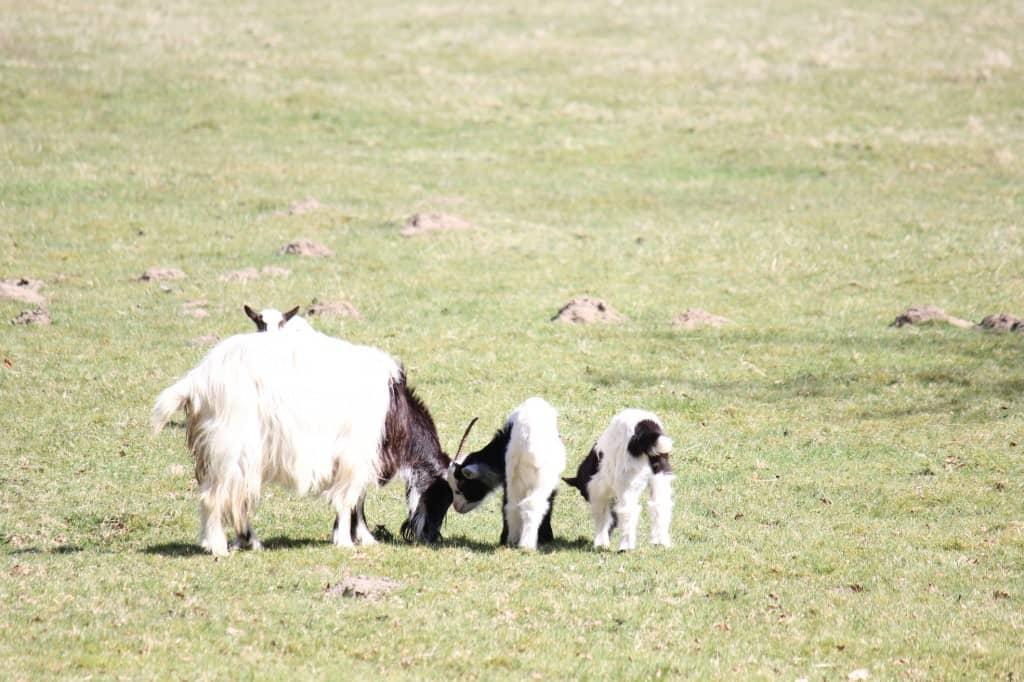 Noordholland Duinreservaat geitjes