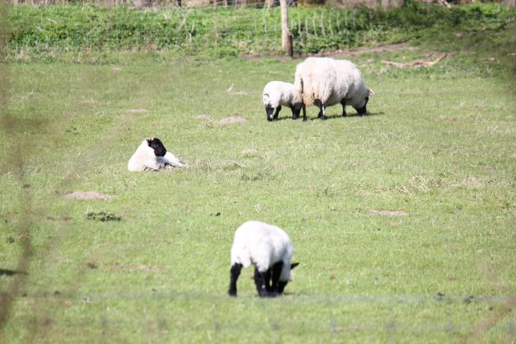 Noordholland Duinreservaat schaapjes