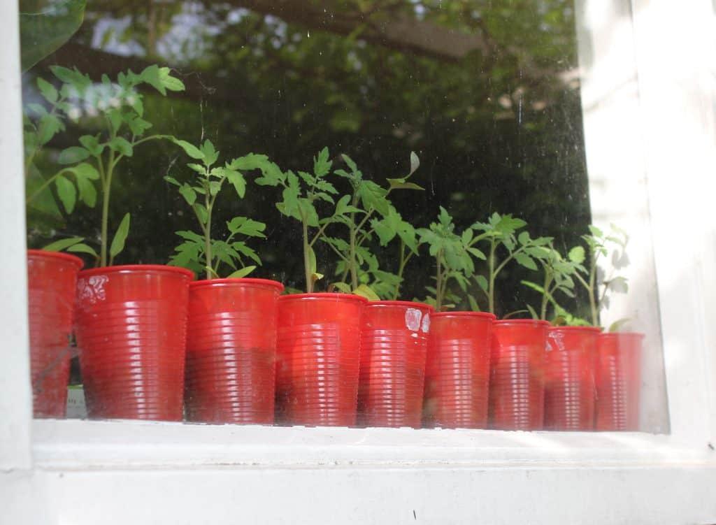 Tomaatjes kweek je gewoon zelf!   ENJOY! The Good Life