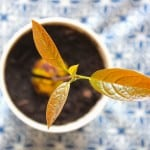Kweek je eigen avocadoplant   ENJOY! The Good Life