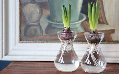 Hyacinten in bollenvaasjes? Terug van weggeweest!