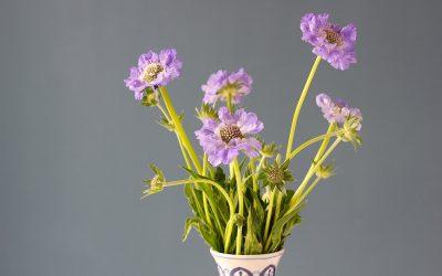Duifkruid, mooi als tuinplant of als snijbloem